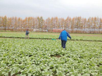 <北海道十勝地方の農家の圃場にて> レストラン用に小さな蕪を出荷する準備…のお手伝い