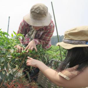 農業(収穫)体験の一コマ 中央の彼女も新規就農した若者です(2015年7月撮影)